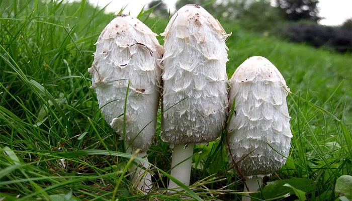 gljiva coprinus comatus