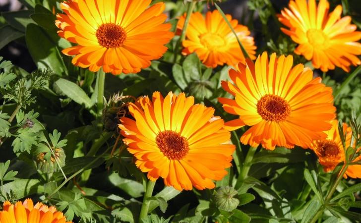Neven - cvetovi