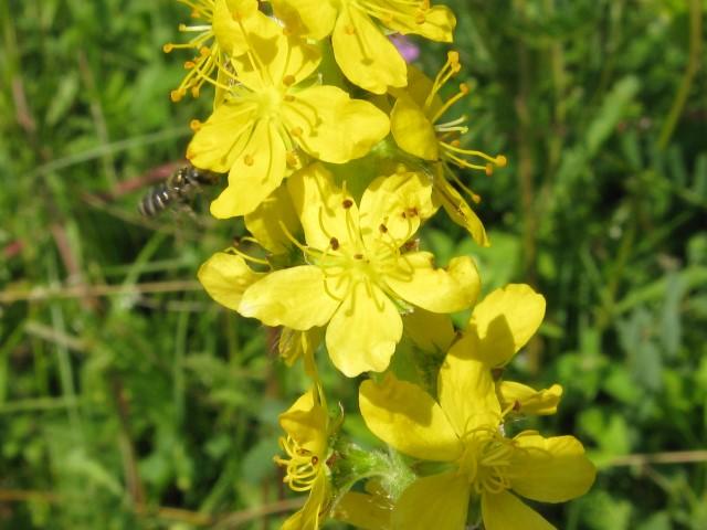 Petrovac - cvetovi